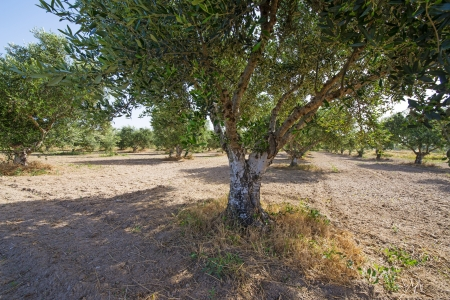 big olive trees on a plantation photo
