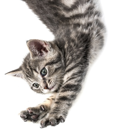 little kittenplaying on a white background photo