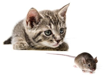 mus: söt liten kattunge fånga en mus