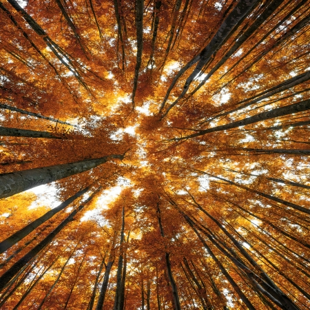 big beech trees in autumn