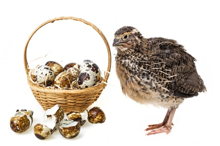 quail eggs in a basket and a quail - white background Stock Photo - 20885329