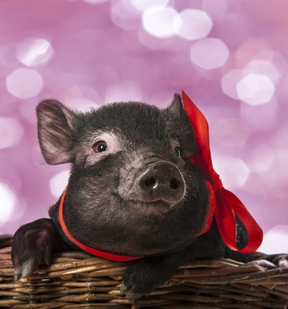 a cute little black pig sitting in a basket - pink background photo