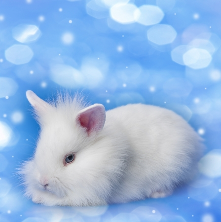 a little baby white rabbit on a blue background photo