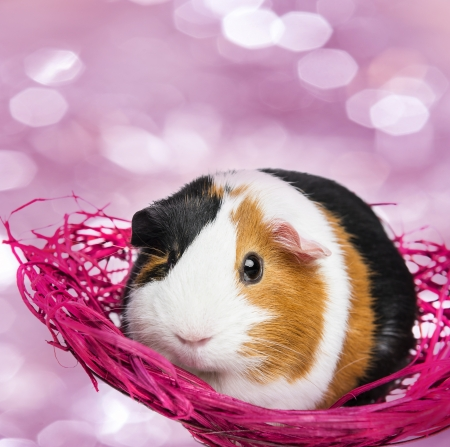 guinea pig in a little net photo