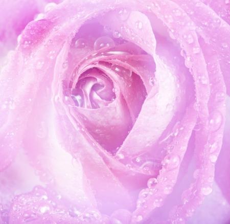 pink dewy rose photo