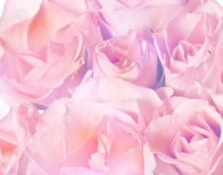 floral background - pink roses photo