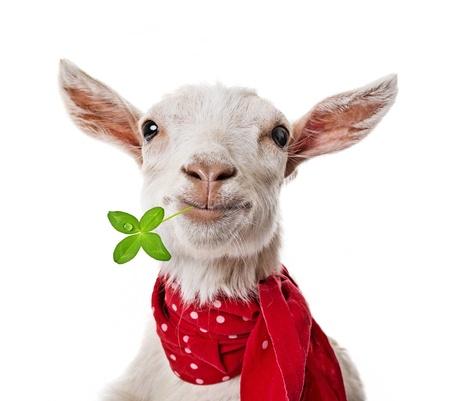 funny goat photo