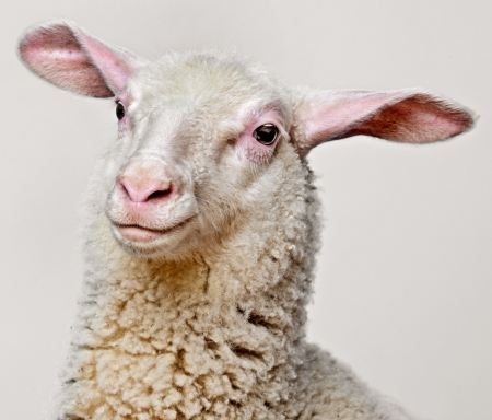 spring lambs: a happy lamb  - portrait on a blue background