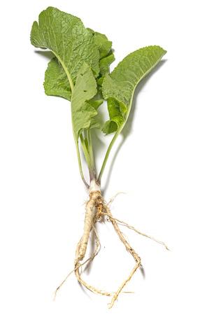 horseradish herb