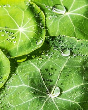 dewy: green dewy leaves macro