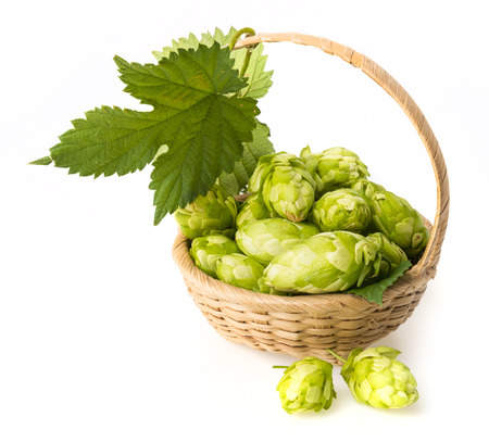 fresh green hop cones in a basket photo