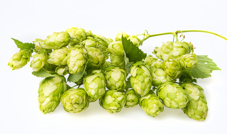green hop cones on a white background photo