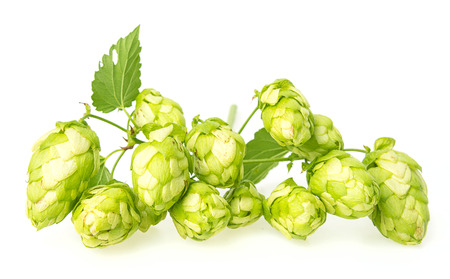green hop cones photo