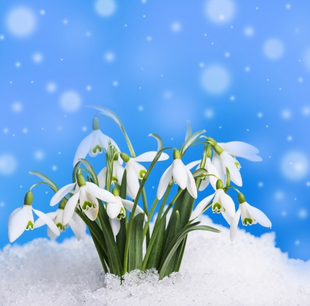 snowdrops in snow - blue background Stock Photo