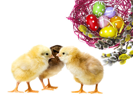 easter eggs in a nest and chickens photo