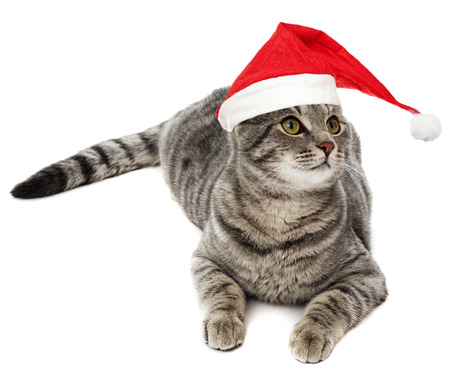 lindo gato con un gorro de santa divertido photo