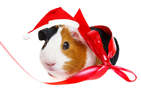 guinea pig  with a red santa cap Stock Photo