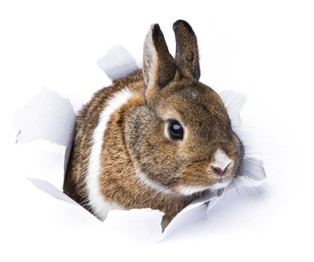 bunny rabbit: rabbit looks through a hole in paper  Stock Photo