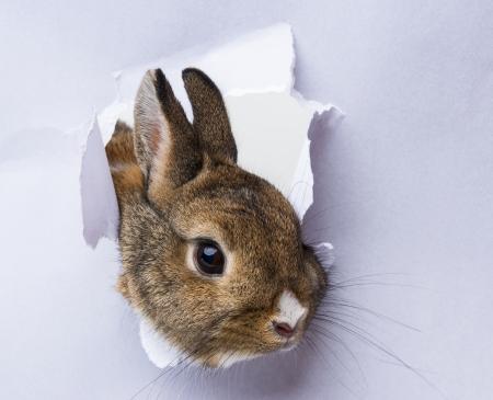 a little rabbit looks through a hole in paper Standard-Bild