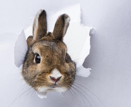 lapin blanc: petit lapin regarde � travers un trou dans le papier Banque d'images