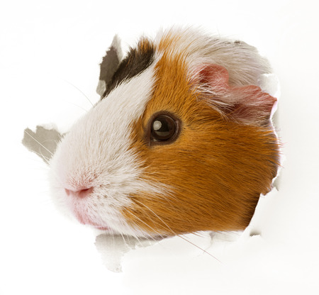 guinea pig looks through a hole in paper photo