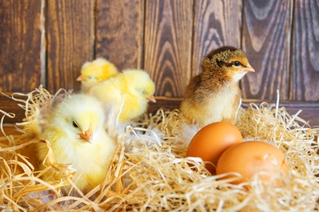 little chickens in a nest Standard-Bild