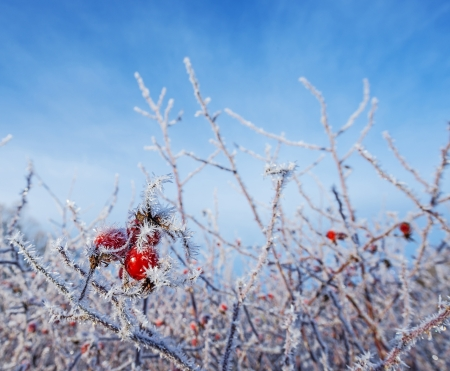 frozen hips in detail - beautiful winter picture photo