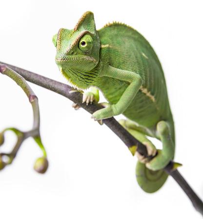 green chameleon - Chamaeleo calyptratus on a branch