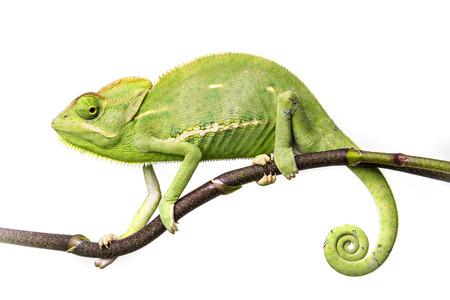 chameleon - Chamaeleo calyptratus na větvi
