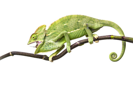 chameleon - Chamaeleo calyptratus photo