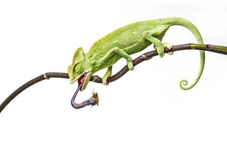 groene kameleon - Chamaeleo calyptratus jacht Stockfoto