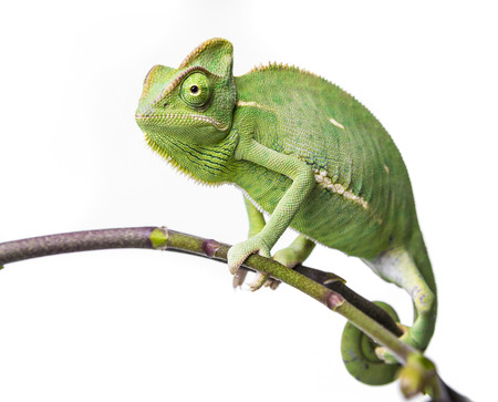 green chameleon - Chamaeleo calyptratus Stock Photo