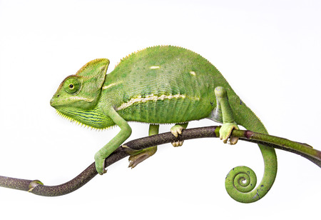 chameleon lizard: green chameleon - Chamaeleo calyptratus Stock Photo