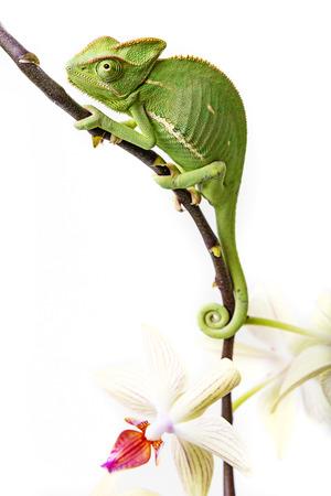 chameleon - Chamaeleo calyptratus and orchid photo