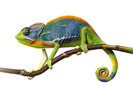 kameleon Stockfoto