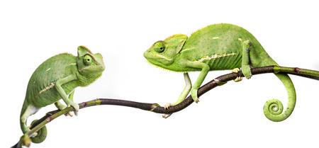chameleon - Chamaeleo calyptratus on a branch photo