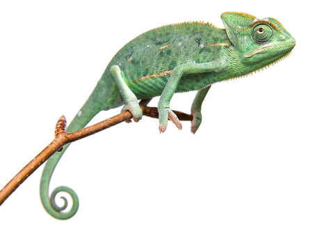 jaszczurka: chameleo