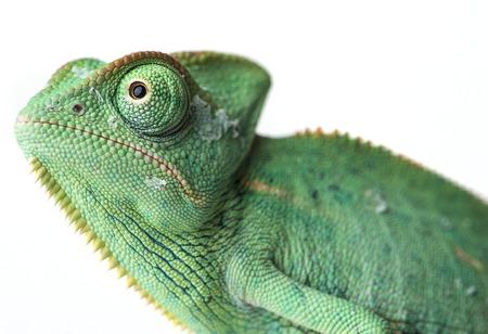 chameleon lizard: chameleo
