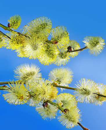 spring branches of willow with catkins  photo
