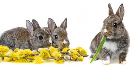 little rabbits and spring flowering branch photo