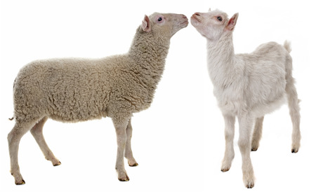 lamb and kid isolated on white background photo