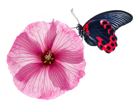 hibiscus flower and butterfly photo