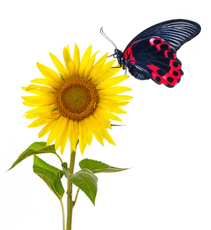 one sunflower and butterfly photo