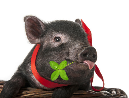 a cute little black pig sitting in a basket Banque d'images