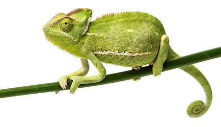 Chamaeleo calyptratus, female Stock Photo