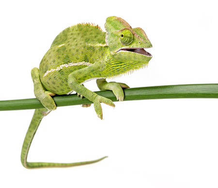 Chamaeleo calyptratus, female, isolated on a white background Banque d'images