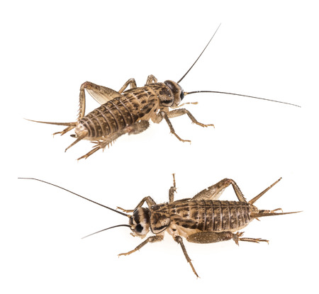 crickets isolated on a white