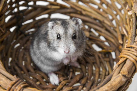 hamster in a basket photo