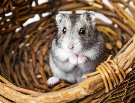 russian hamster: hamster in a basket