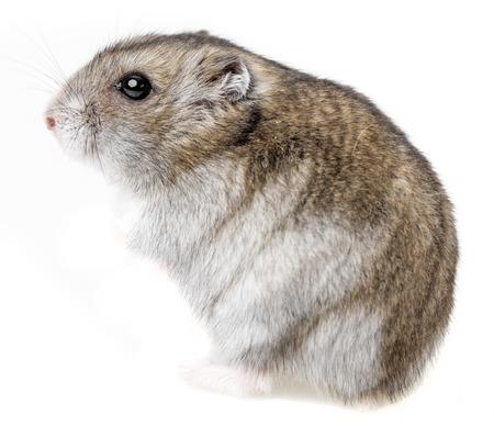 hamster geïsoleerd op witte achtergrond Stockfoto